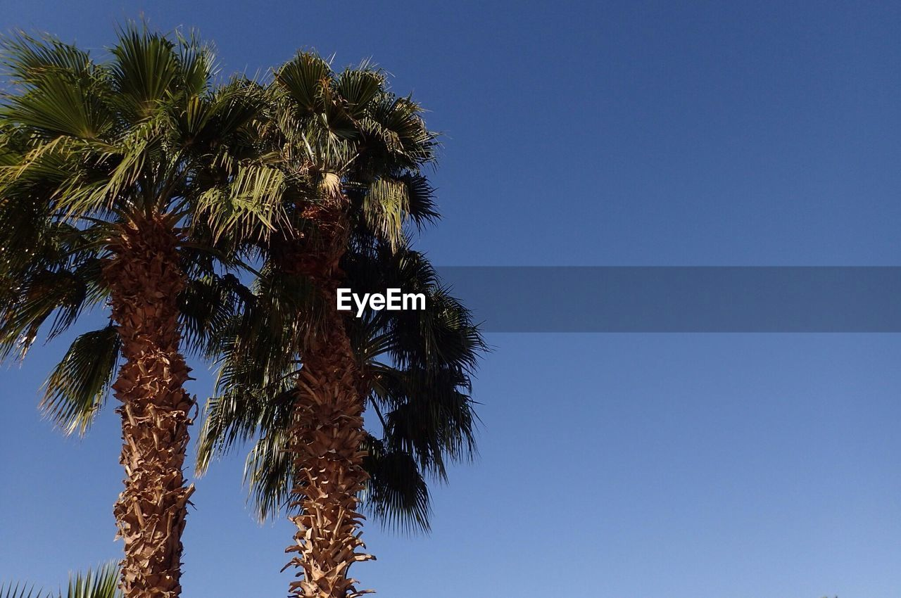 low angle view, tree, clear sky, palm tree, blue, growth, nature, sky, day, outdoors, no people, tree trunk, beauty in nature, scenics