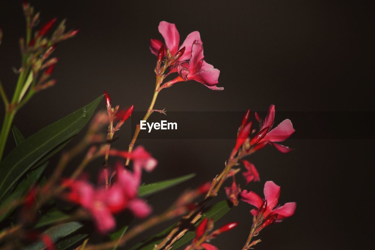 growth, nature, flower, no people, plant, night, red, beauty in nature, fragility, outdoors, close-up, freshness