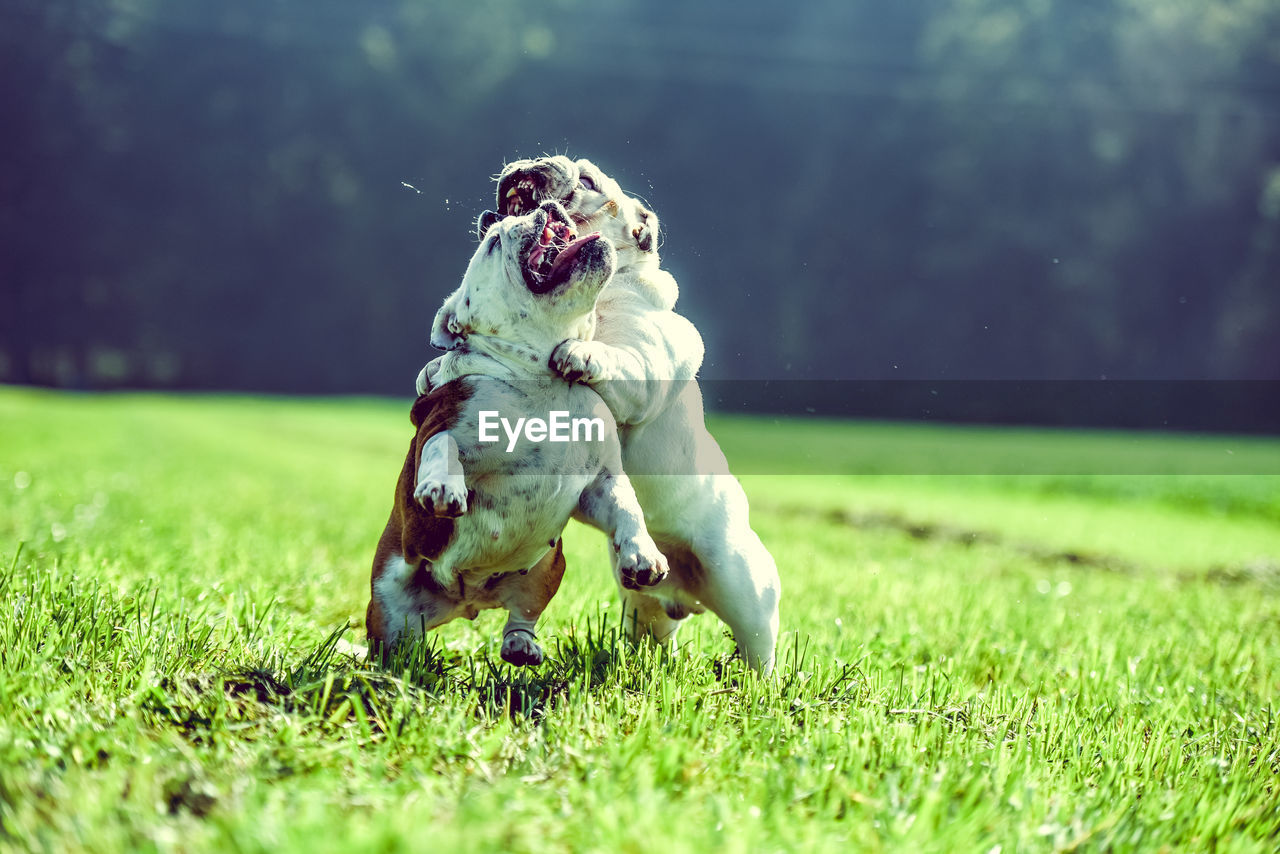 animal themes, dog, canine, grass, pets, mammal, animal, domestic animals, domestic, one animal, plant, field, running, vertebrate, land, nature, no people, day, mouth, selective focus, mouth open
