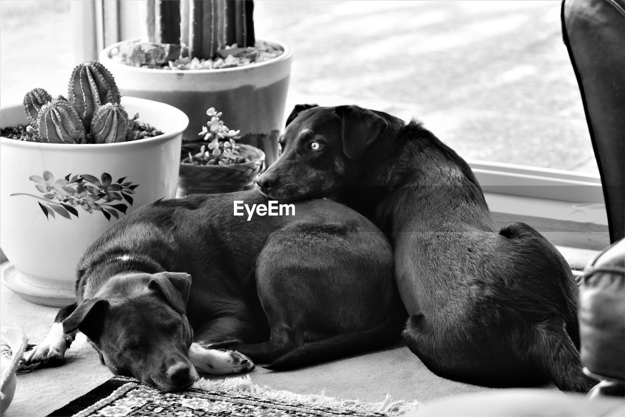 animal, mammal, animal themes, vertebrate, domestic, domestic animals, pets, group of animals, relaxation, two animals, canine, dog, no people, sitting, focus on foreground, day, indoors, looking, close-up