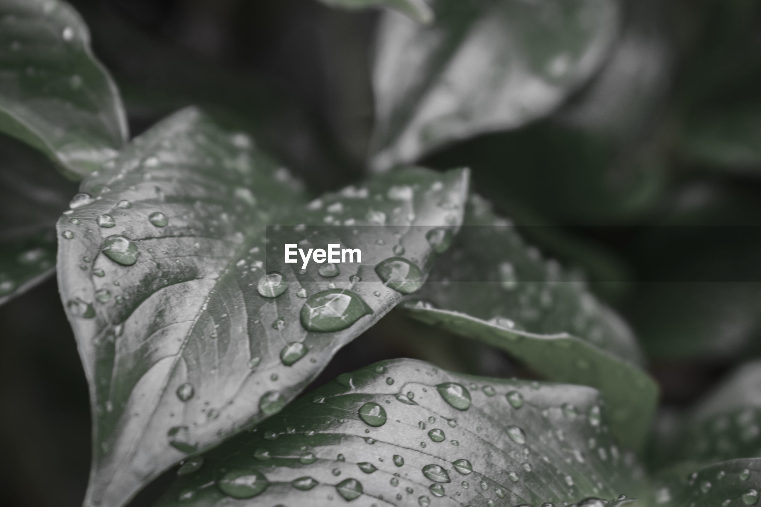 CLOSE-UP OF WATER DROPS ON LEAVES OF RAIN