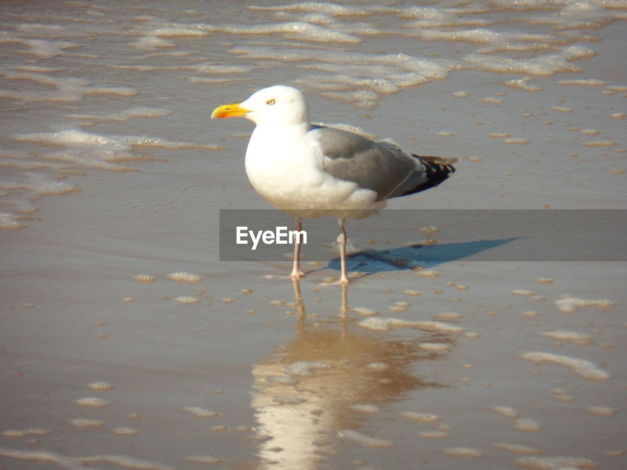 bird, animal, vertebrate, animal themes, animals in the wild, one animal, water, animal wildlife, seagull, beach, day, nature, no people, perching, land, sea, outdoors, sand, reflection