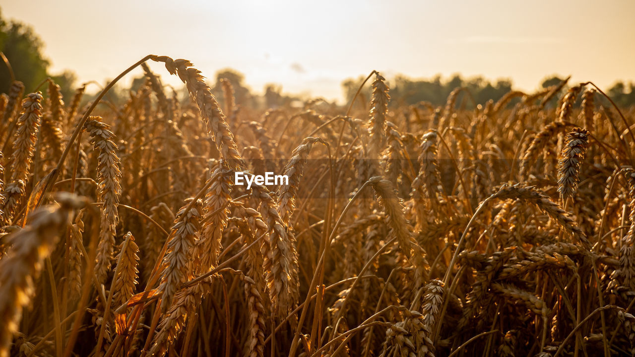 growth, rural scene, agriculture, field, landscape, sky, land, cereal plant, crop, farm, beauty in nature, plant, tranquility, wheat, nature, close-up, no people, environment, tranquil scene, scenics - nature, outdoors, stalk, plantation