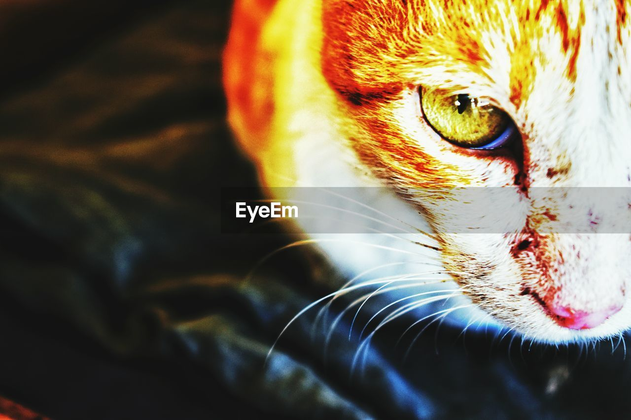 one animal, animal themes, domestic animals, pets, mammal, feline, animal head, close-up, whisker, no people, domestic cat, portrait, day, outdoors