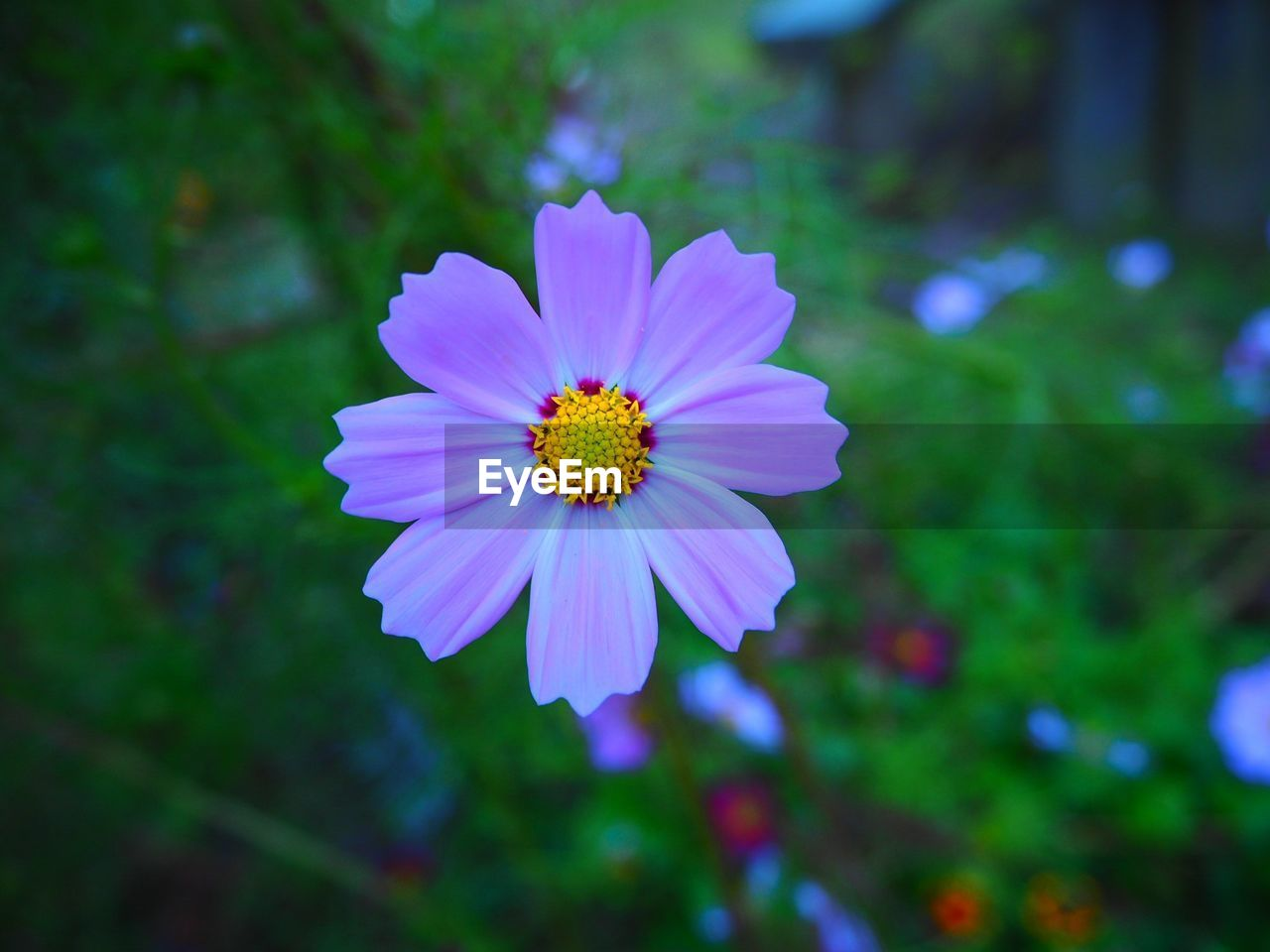 flower, flowering plant, fragility, vulnerability, freshness, plant, beauty in nature, petal, inflorescence, flower head, growth, close-up, pollen, focus on foreground, nature, day, no people, outdoors, cosmos flower, purple