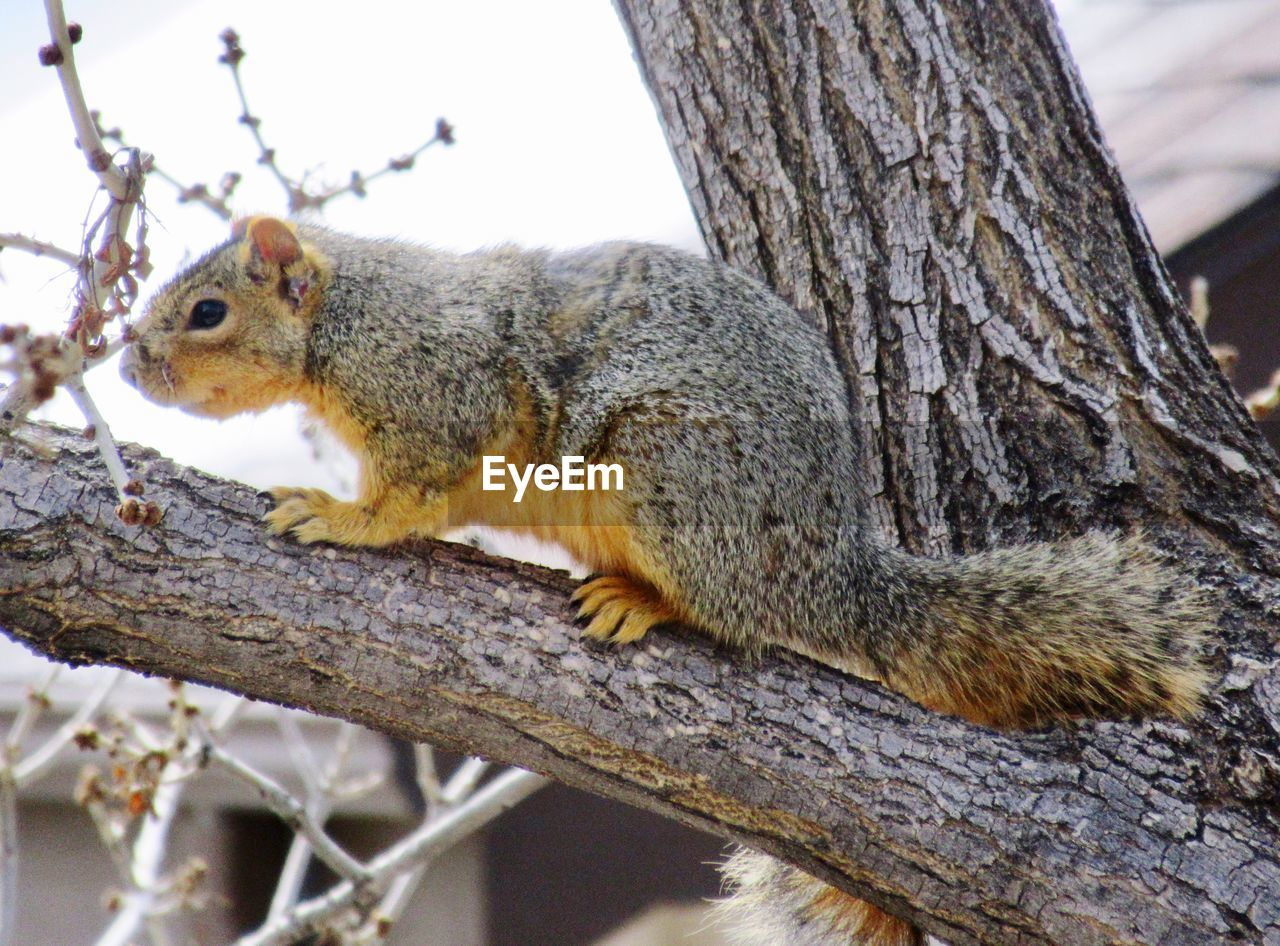 one animal, squirrel, tree, rodent, animals in the wild, animal themes, mammal, tree trunk, animal wildlife, nature, outdoors, no people, day, branch, close-up