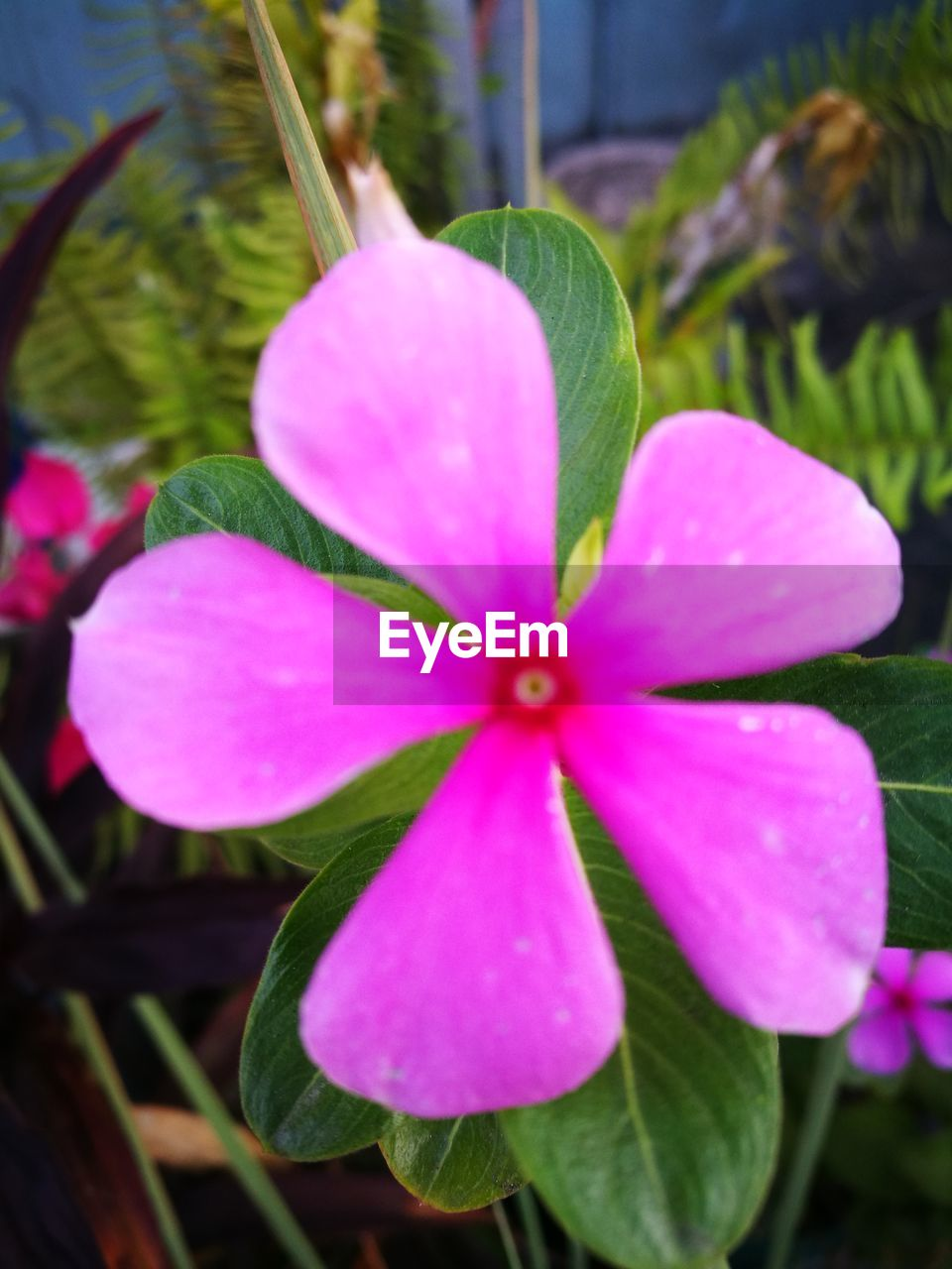 flower, growth, petal, beauty in nature, nature, freshness, fragility, flower head, pink color, plant, day, focus on foreground, blooming, outdoors, no people, close-up, periwinkle
