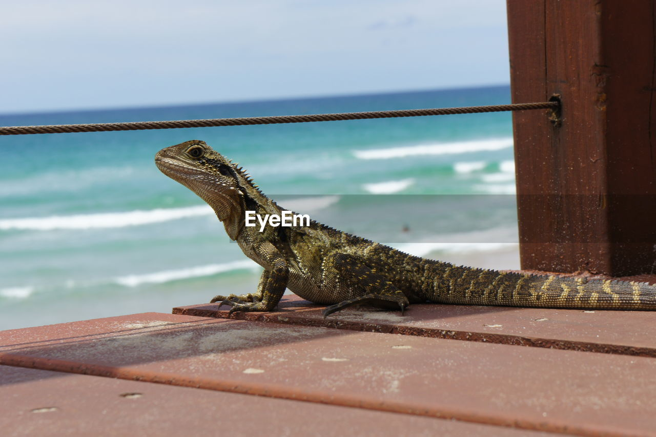 one animal, animal themes, animal, animal wildlife, animals in the wild, reptile, vertebrate, lizard, no people, close-up, day, nature, focus on foreground, outdoors, sea, water, metal, railing, wood - material, iguana, animal scale