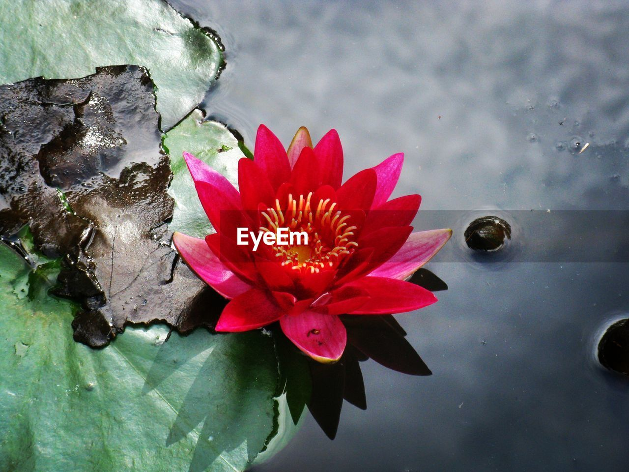 flower, flowering plant, petal, plant, beauty in nature, close-up, freshness, water, fragility, vulnerability, flower head, inflorescence, nature, leaf, plant part, red, growth, water lily, no people, pink color, pond, floating on water, outdoors, pollen, lotus water lily