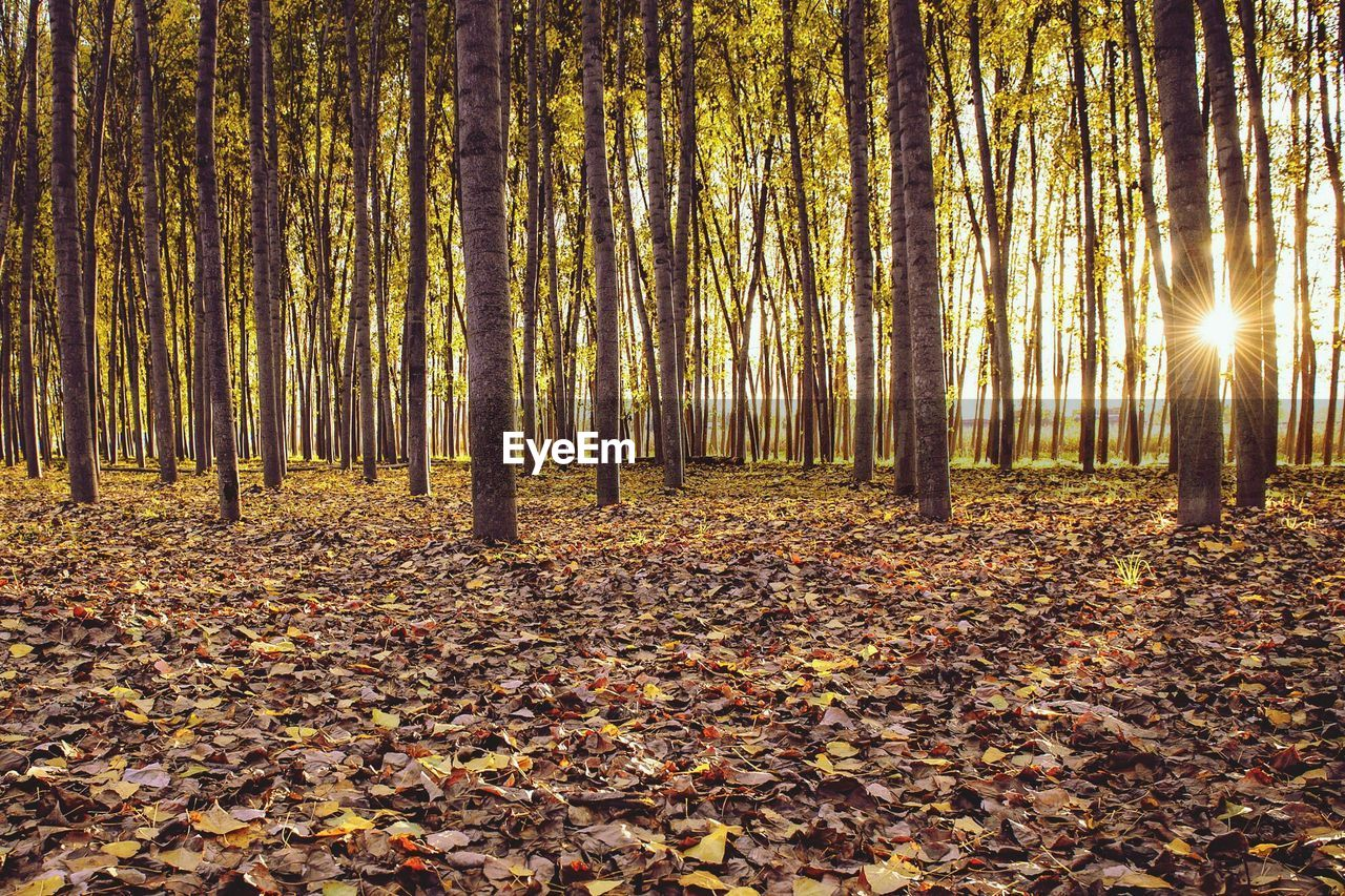tree, autumn, forest, land, leaf, change, plant part, beauty in nature, tranquility, nature, plant, day, leaves, tranquil scene, woodland, scenics - nature, falling, tree trunk, trunk, non-urban scene, outdoors, no people, autumn collection