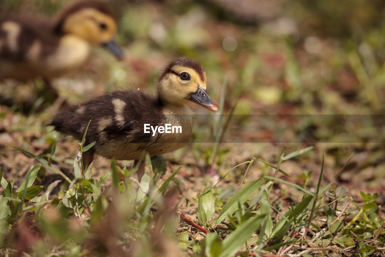 bird, animal themes, animal, vertebrate, animal wildlife, animals in the wild, young bird, one animal, land, plant, nature, selective focus, field, young animal, day, no people, side view, duck, close-up, poultry, outdoors, gosling