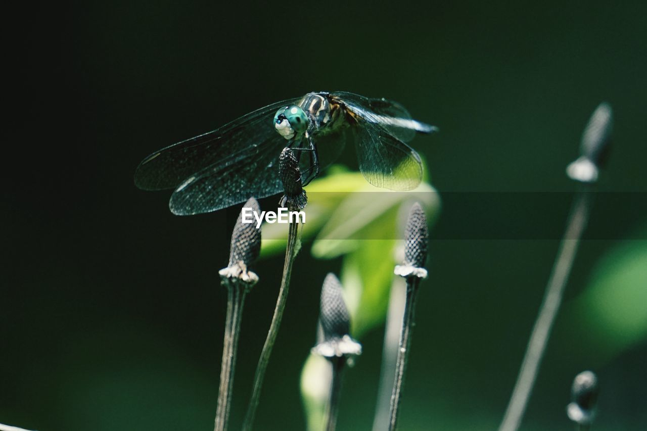 Close-Up Of Dragonfly On Dandelion Bud