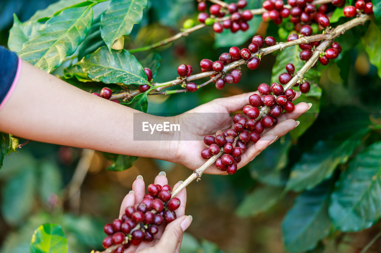 Cropped image of hand holding coffee beans