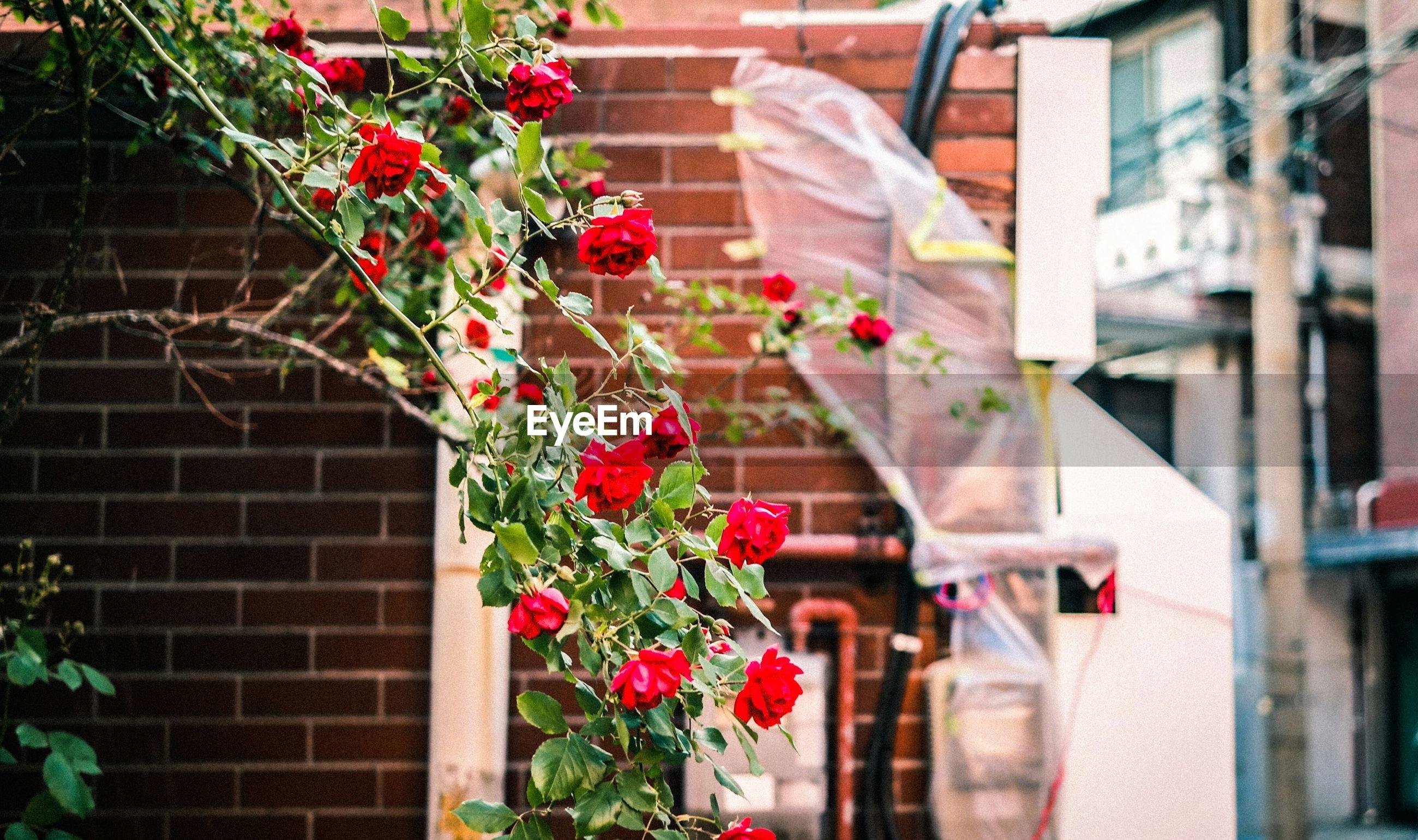 Rose bush in city