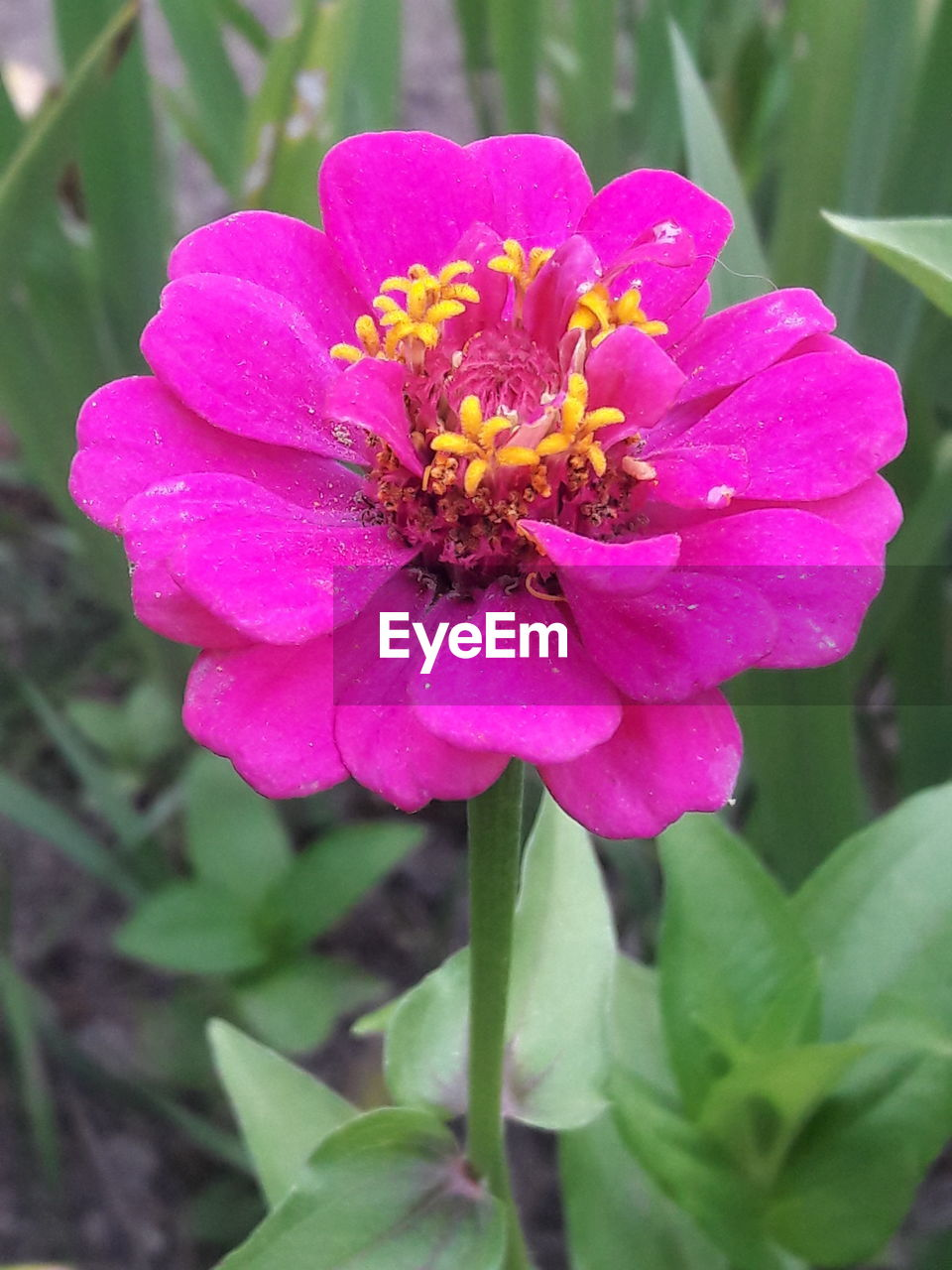 flower, petal, fragility, beauty in nature, nature, flower head, freshness, growth, plant, blooming, outdoors, day, no people, focus on foreground, close-up, pink color, zinnia, animal themes
