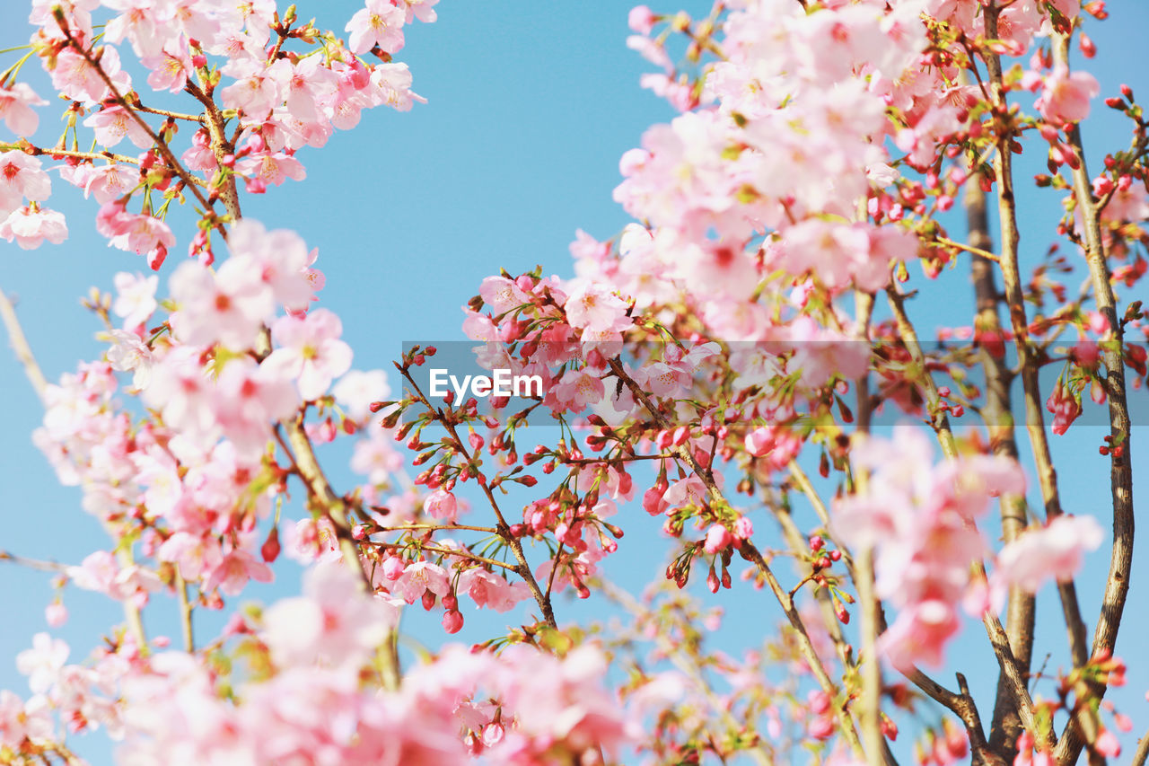 pink color, plant, flower, fragility, vulnerability, flowering plant, growth, beauty in nature, tree, freshness, springtime, branch, blossom, low angle view, nature, day, close-up, no people, selective focus, cherry blossom, outdoors, cherry tree, flower head, spring