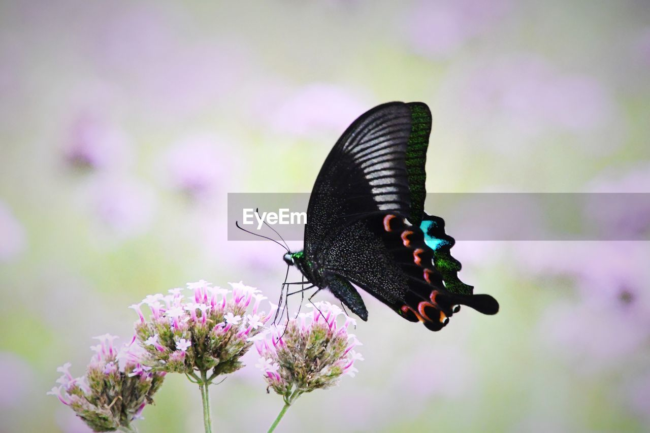 invertebrate, insect, animal themes, flower, animals in the wild, one animal, animal wildlife, animal, flowering plant, animal wing, beauty in nature, butterfly - insect, close-up, vulnerability, focus on foreground, plant, fragility, nature, day, flower head, no people, pollination, outdoors, butterfly, purple