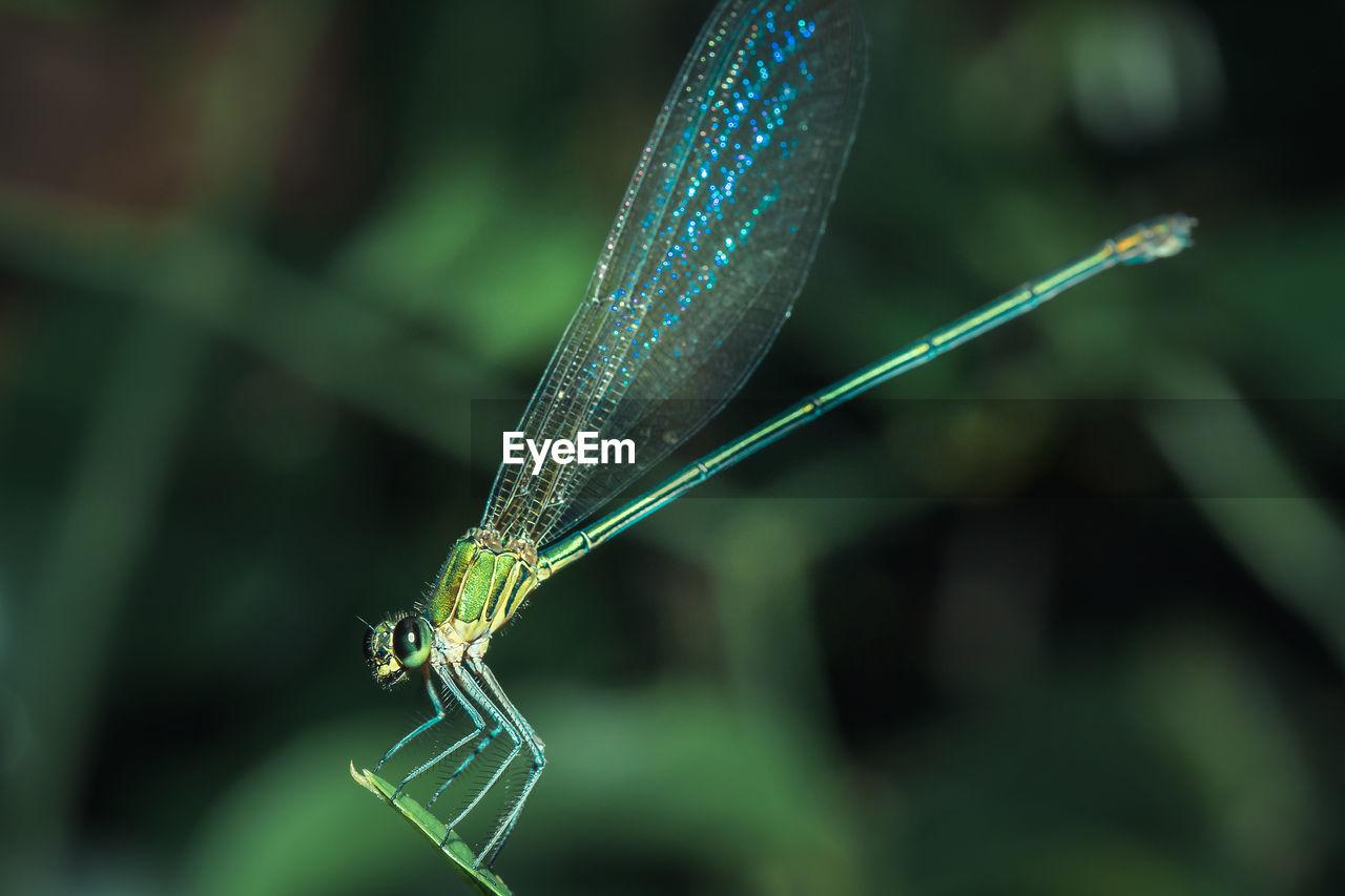 Neurobasis chinensis on leaf, stream glory on leaf, oriental greenwing on leaf,