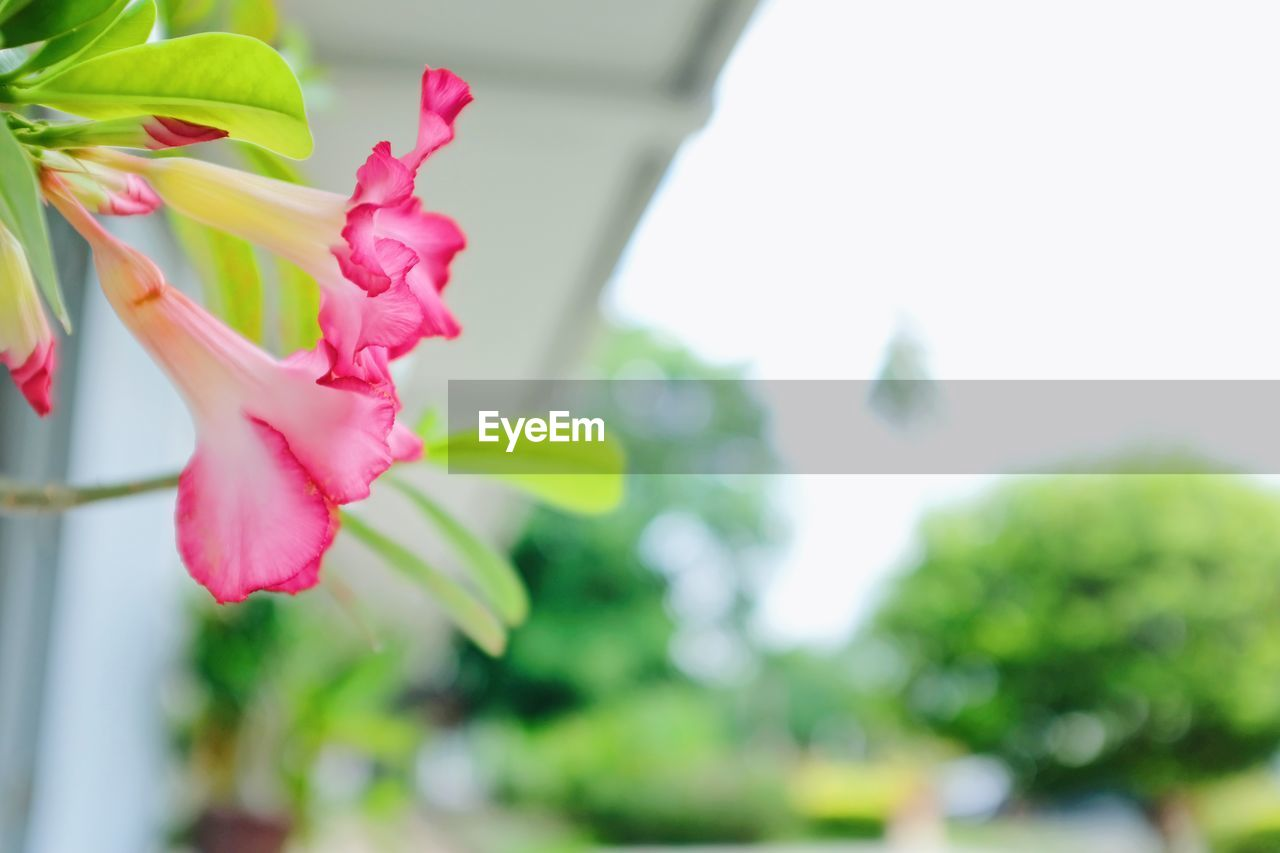 flower, beauty in nature, fragility, nature, freshness, petal, pink color, close-up, growth, focus on foreground, flower head, day, no people, outdoors