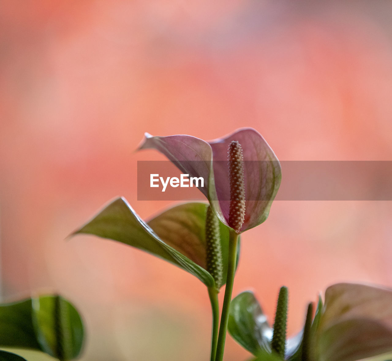 growth, plant, beauty in nature, vulnerability, close-up, fragility, flower, flowering plant, freshness, petal, no people, nature, plant part, leaf, selective focus, flower head, pink color, plant stem, focus on foreground, inflorescence, outdoors