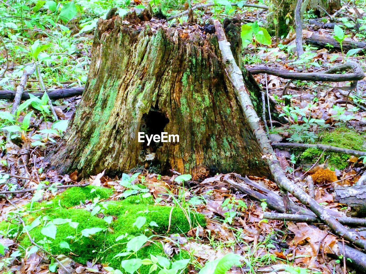 tree, plant, land, forest, day, nature, growth, tree trunk, no people, trunk, plant part, tranquility, moss, leaf, field, green color, outdoors, bark, beauty in nature, close-up, woodland