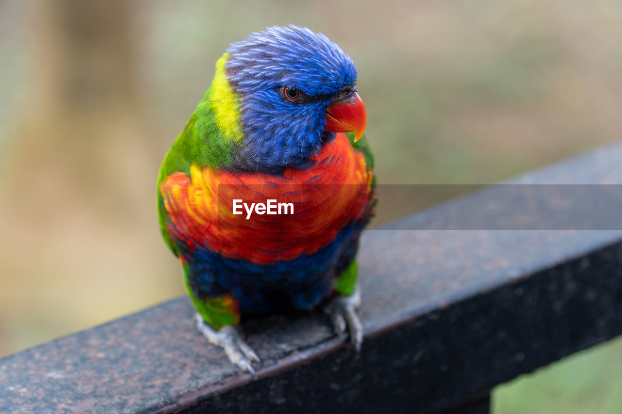 animal themes, animal, animal wildlife, multi colored, animals in the wild, vertebrate, one animal, rainbow lorikeet, bird, parrot, close-up, focus on foreground, day, no people, perching, outdoors, beauty in nature, nature, looking, zoology, animal eye