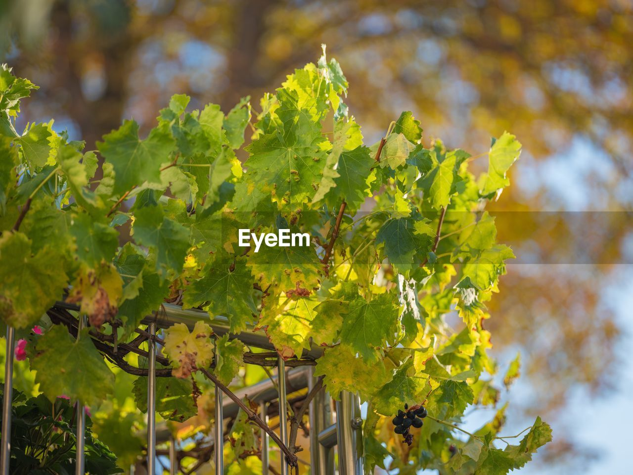 growth, plant, plant part, leaf, beauty in nature, day, freshness, nature, focus on foreground, food and drink, green color, food, tree, flower, no people, agriculture, close-up, flowering plant, healthy eating, outdoors, winemaking, ripe