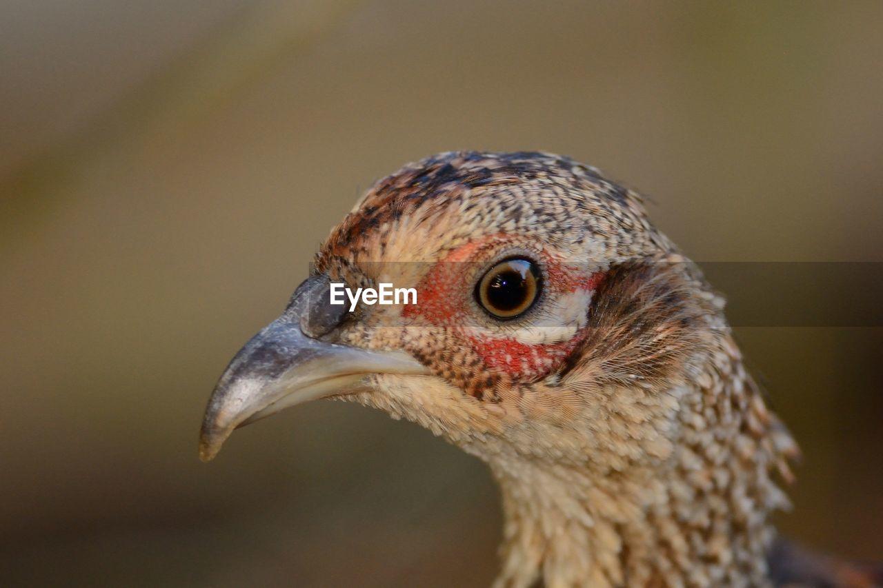 Close-Up Of Female Pheasant