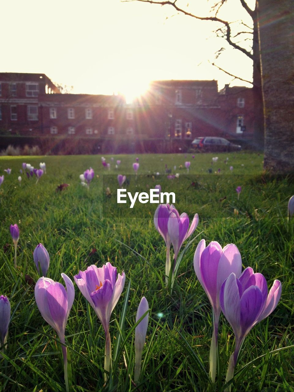 flower, lens flare, nature, beauty in nature, sunlight, sun, growth, petal, sunbeam, fragility, grass, no people, freshness, sunset, field, outdoors, plant, flower head, blooming, day, close-up, crocus, sky