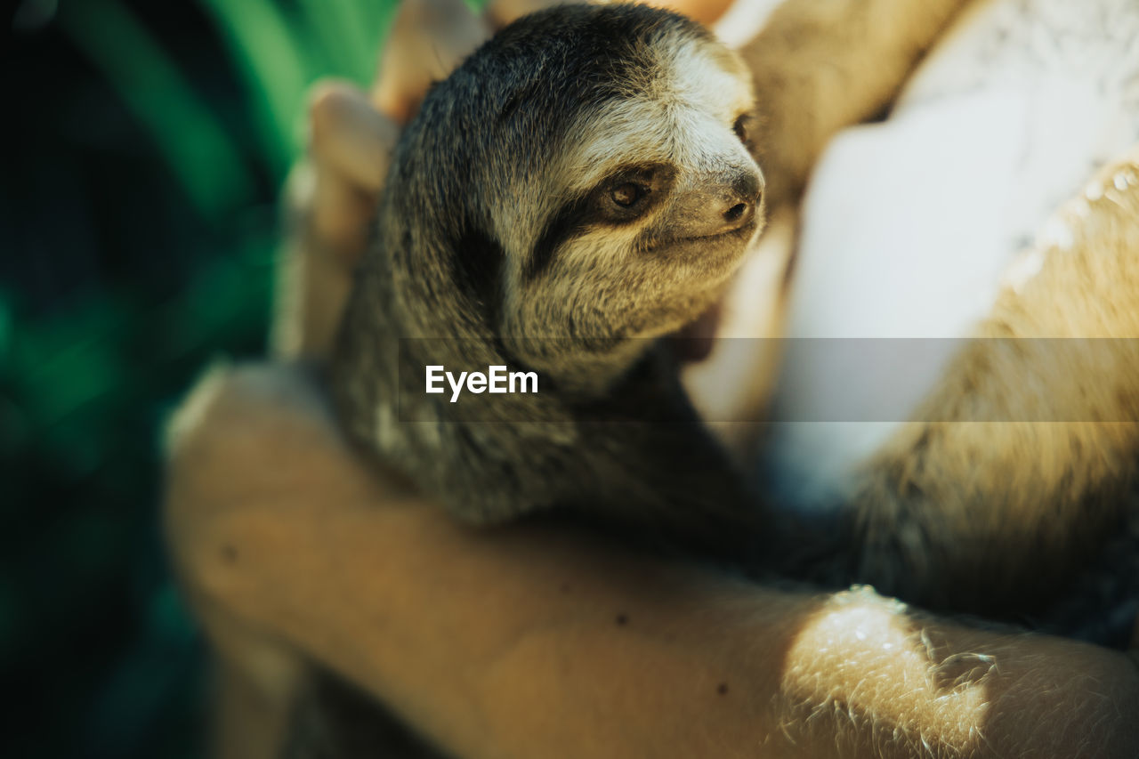 Close-up of a sloth smiling