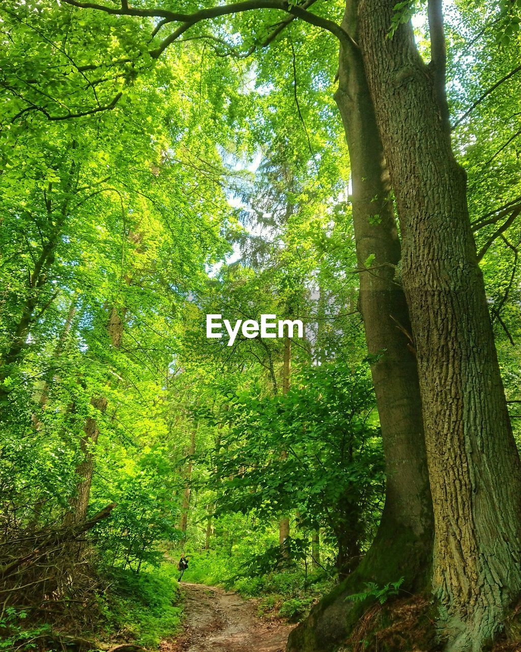 tree, plant, tree trunk, trunk, land, forest, growth, beauty in nature, nature, green color, tranquility, woodland, day, tranquil scene, environment, scenics - nature, outdoors, non-urban scene, foliage, no people