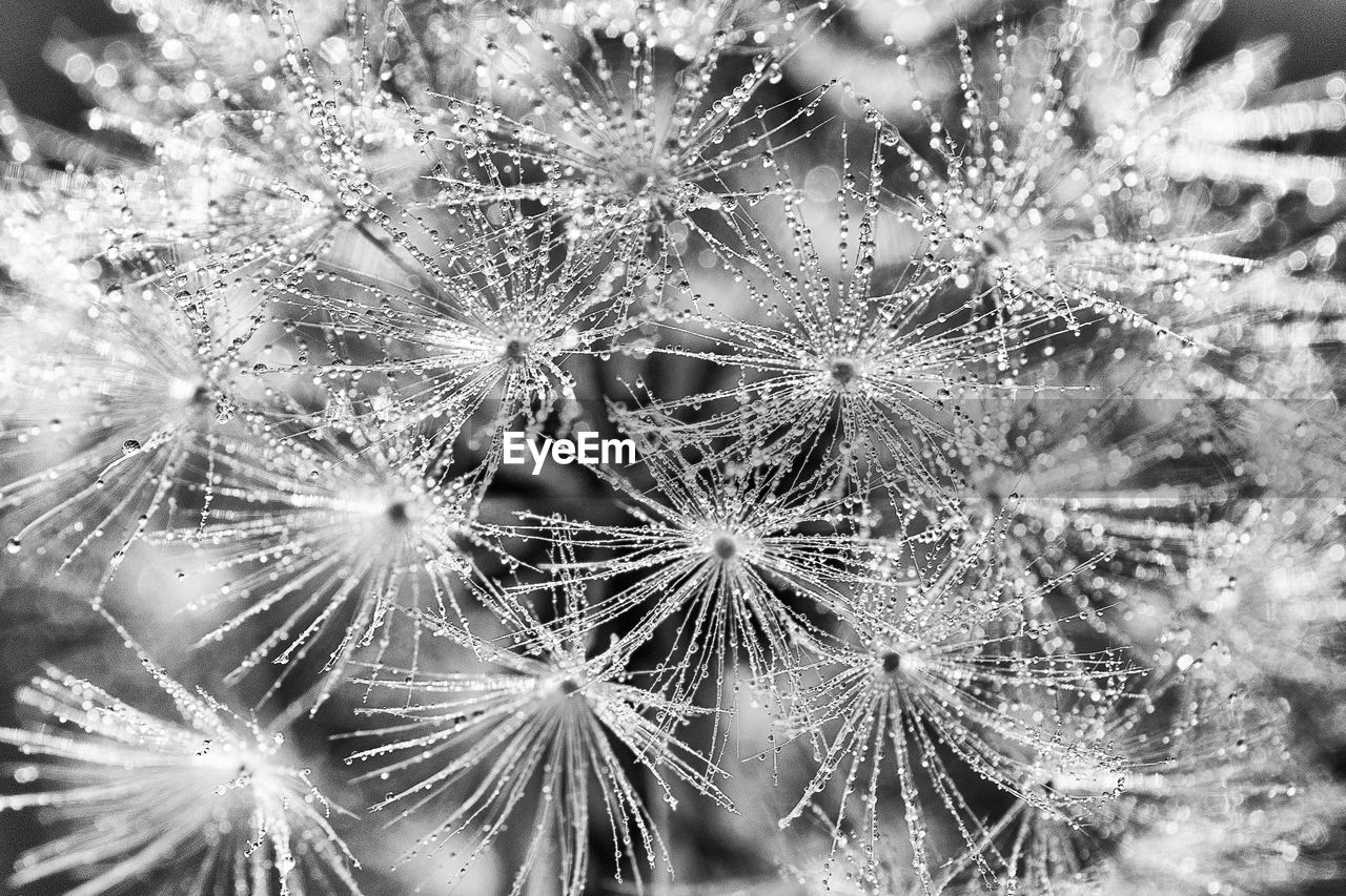 fragility, close-up, plant, vulnerability, beauty in nature, no people, nature, freshness, backgrounds, drop, flower, full frame, growth, dandelion, day, wet, water, selective focus, flowering plant, outdoors, dew, flower head, softness, dandelion seed, purity, raindrop
