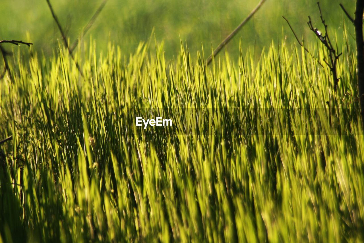 plant, green color, field, growth, land, nature, beauty in nature, grass, no people, day, agriculture, rural scene, selective focus, tranquility, sunlight, outdoors, landscape, close-up, farm, focus on foreground, blade of grass