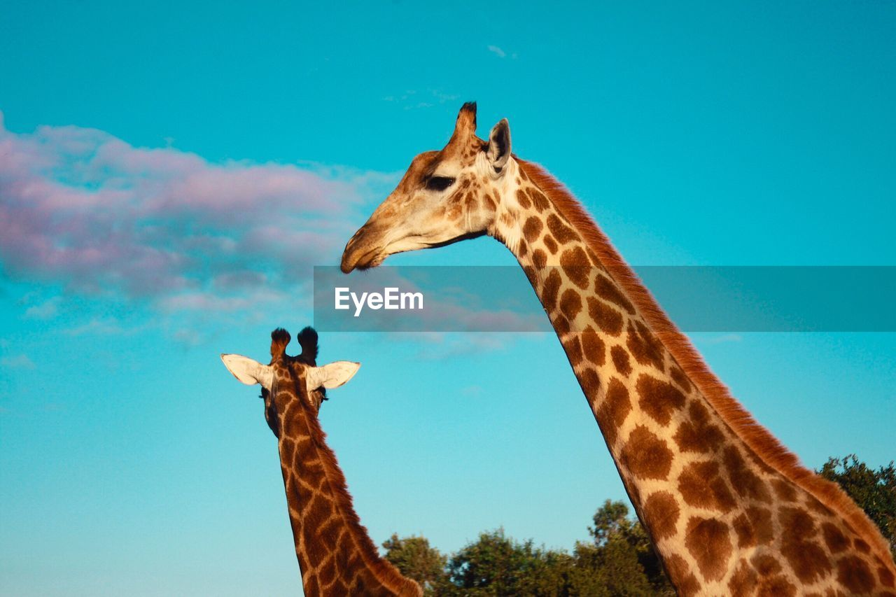 Low Angle View Of Giraffes Against Sky
