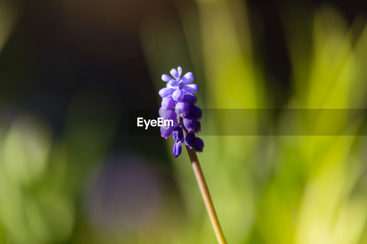 flowering plant, flower, plant, vulnerability, fragility, beauty in nature, freshness, close-up, growth, petal, flower head, inflorescence, purple, nature, selective focus, focus on foreground, plant stem, day, no people, botany