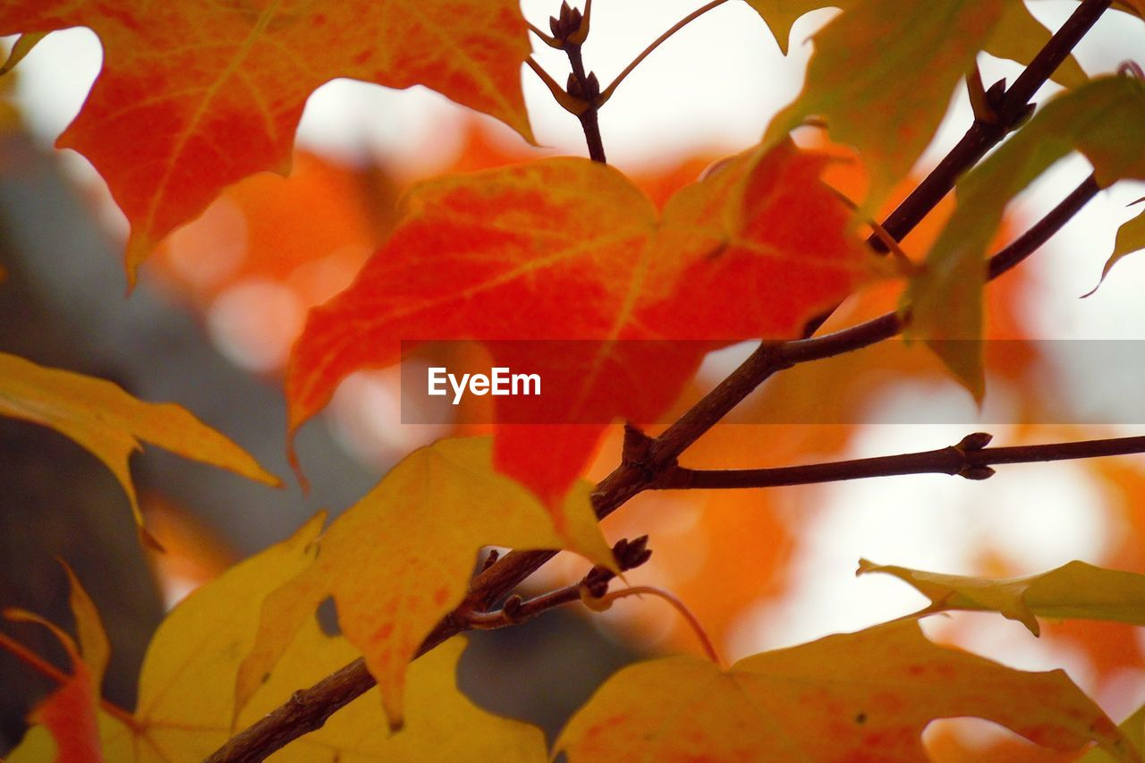 plant, autumn, plant part, beauty in nature, leaf, growth, orange color, change, close-up, tree, no people, branch, nature, day, focus on foreground, selective focus, leaves, freshness, outdoors, maple leaf, natural condition, fall, autumn collection