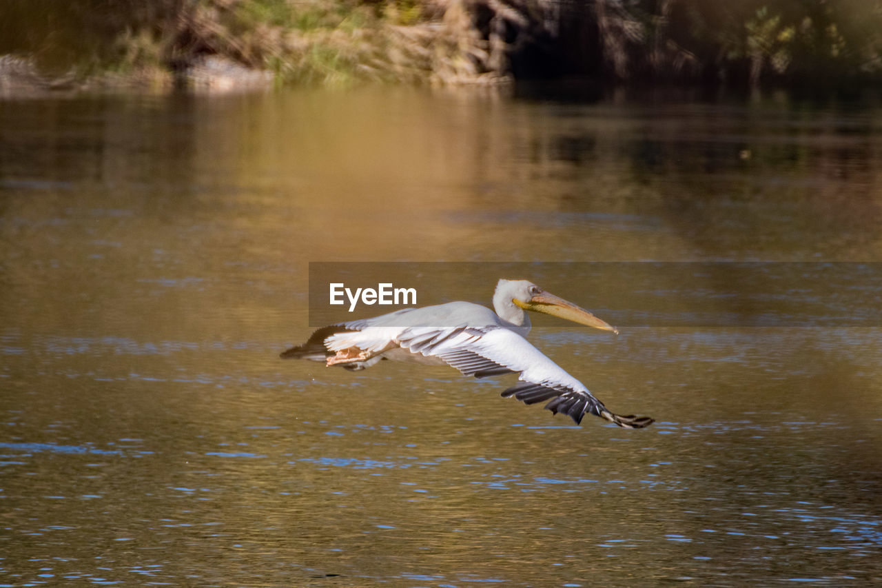 animals in the wild, water, animal themes, animal, vertebrate, animal wildlife, bird, lake, one animal, flying, spread wings, waterfront, no people, nature, day, mid-air, reflection, motion, water bird