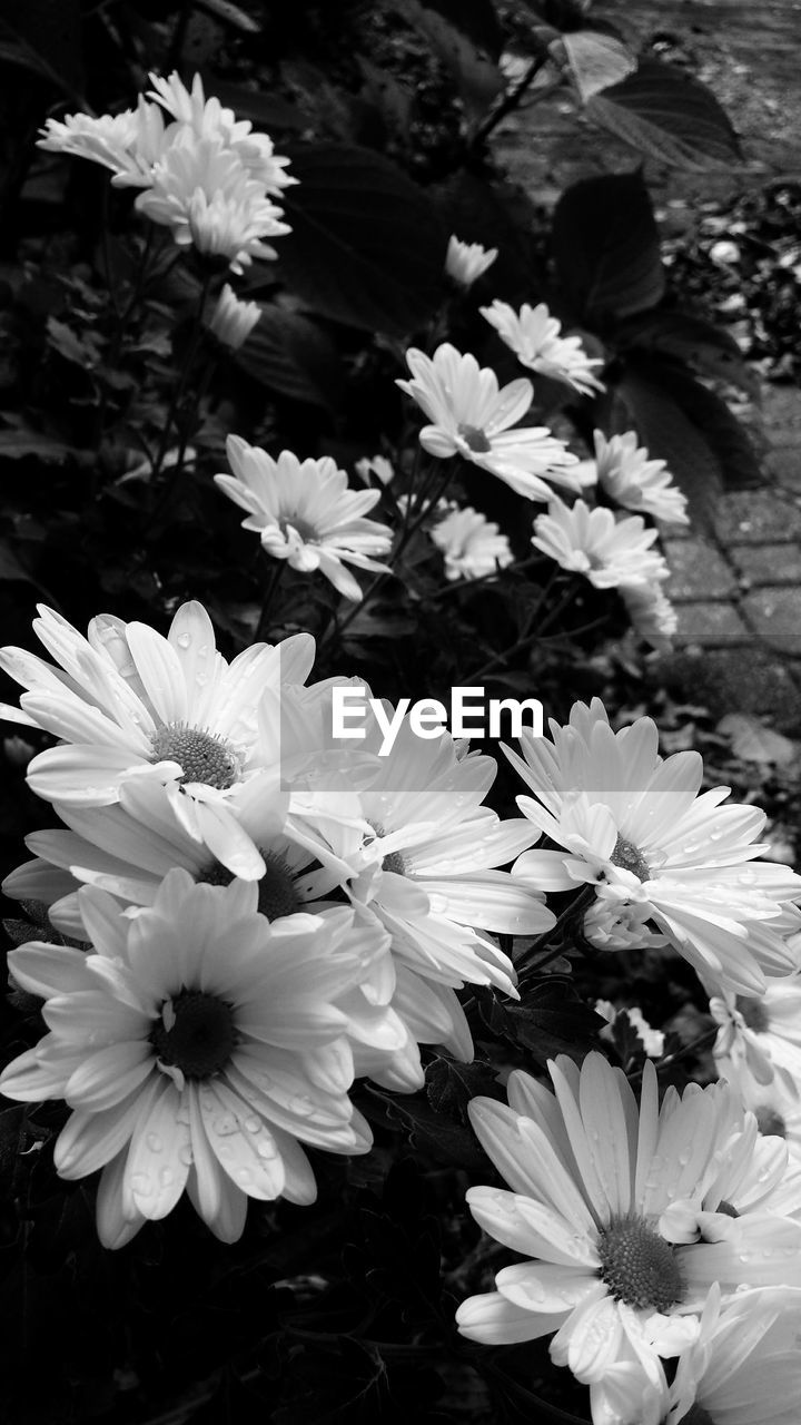 flower, petal, nature, beauty in nature, white color, fragility, flower head, freshness, growth, no people, blooming, plant, outdoors, day, close-up, osteospermum