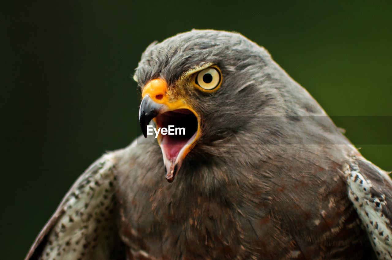 CLOSE-UP OF A Hawk