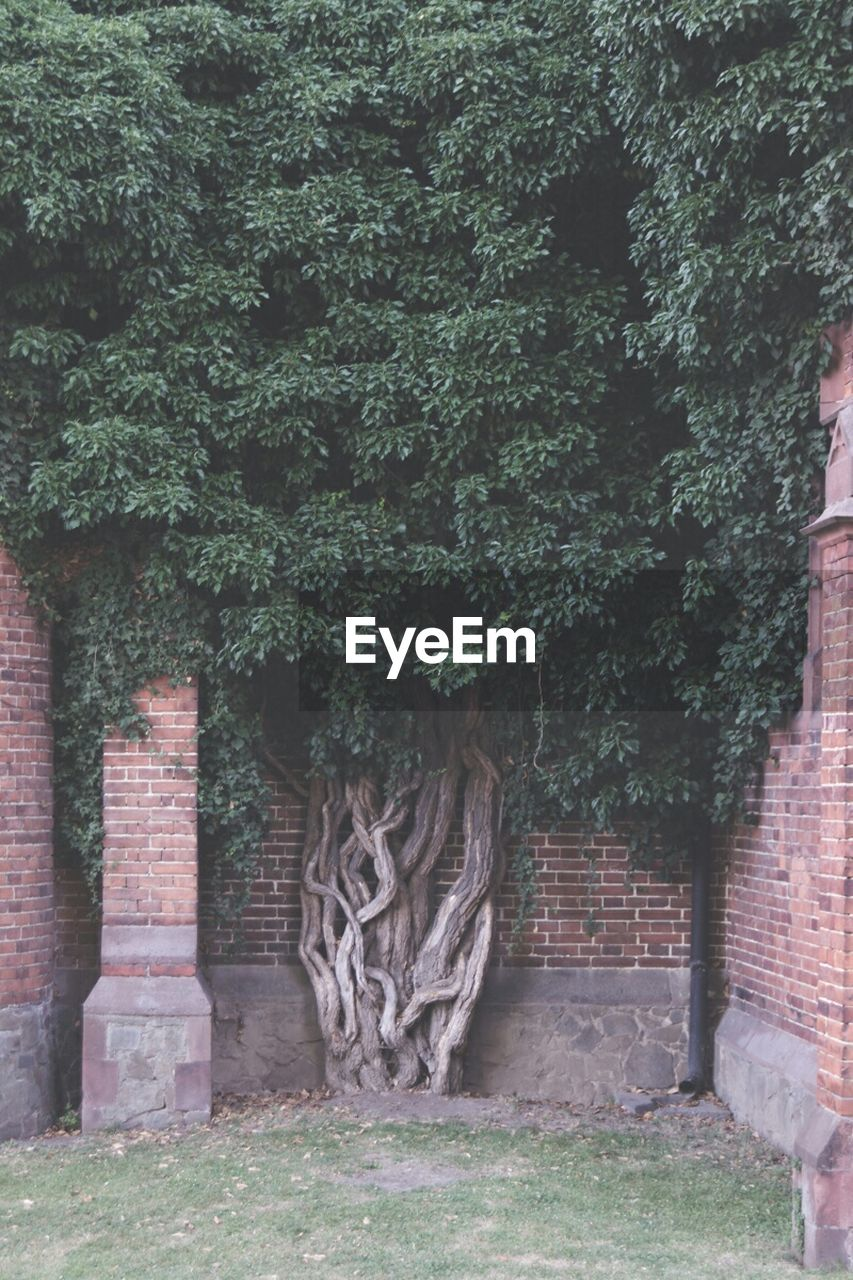tree, growth, green, green color, architecture, brick wall, outdoors, ivy, grass, plant, day, building exterior, no people, built structure, nature