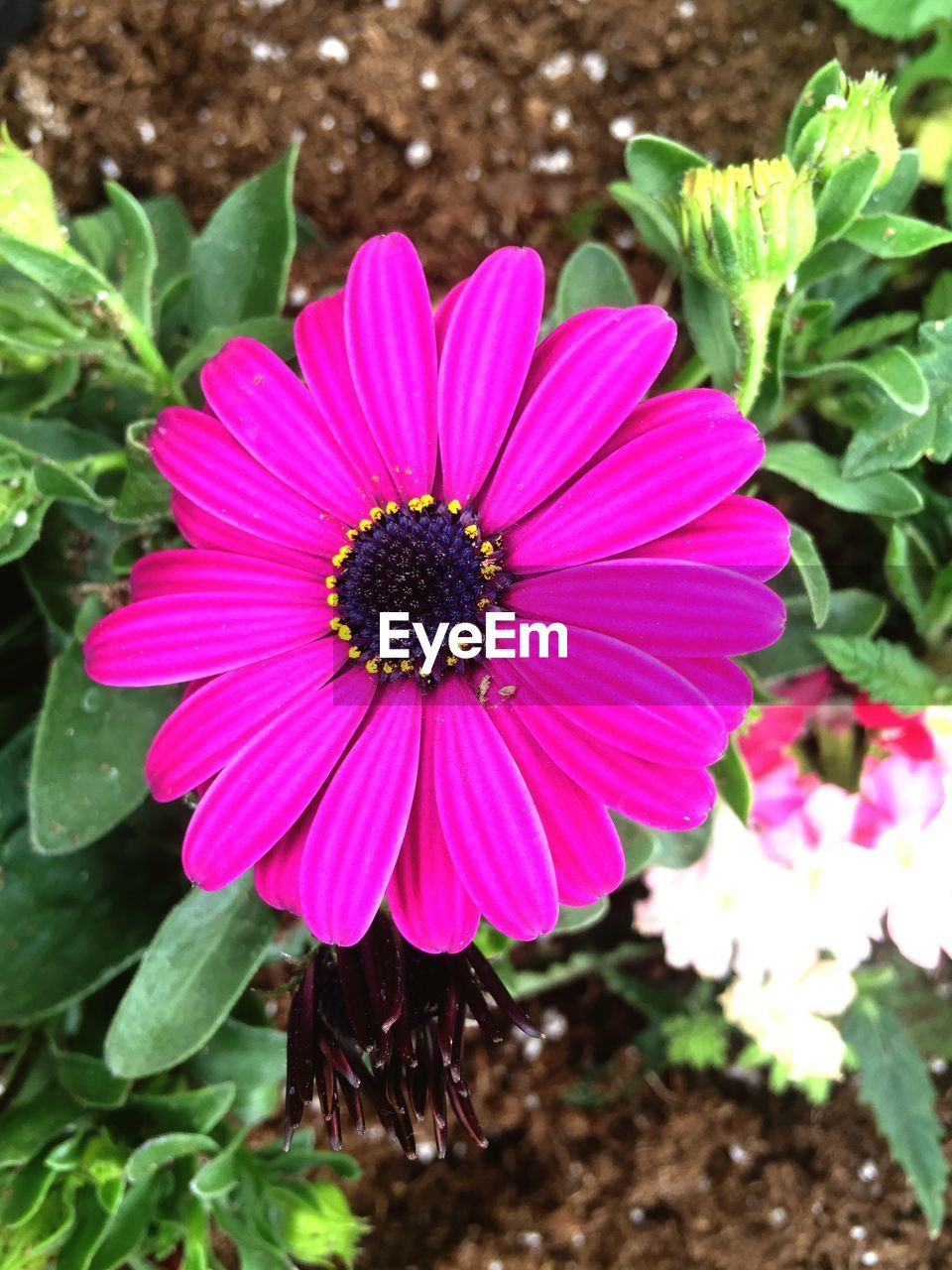 flower, fragility, petal, growth, freshness, plant, nature, blooming, flower head, pink color, pollen, beauty in nature, no people, outdoors, day, high angle view, osteospermum, close-up
