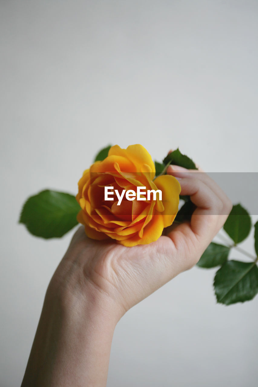 flower, human hand, hand, flowering plant, freshness, one person, holding, plant, vulnerability, beauty in nature, fragility, rose - flower, close-up, human body part, rose, nature, petal, flower head, inflorescence, indoors, finger