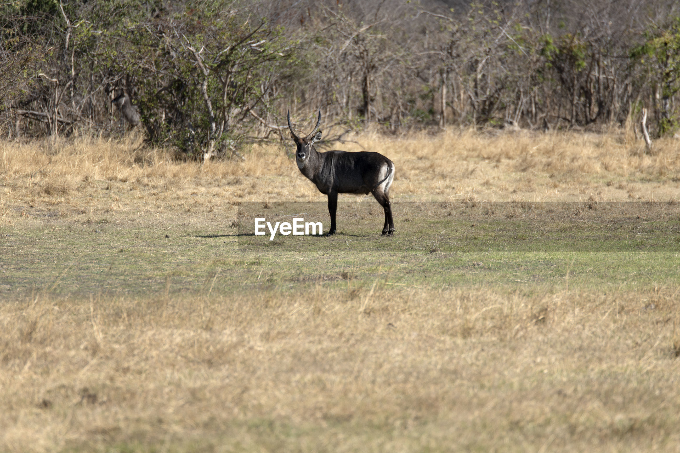 Side view of a waterbuck on field