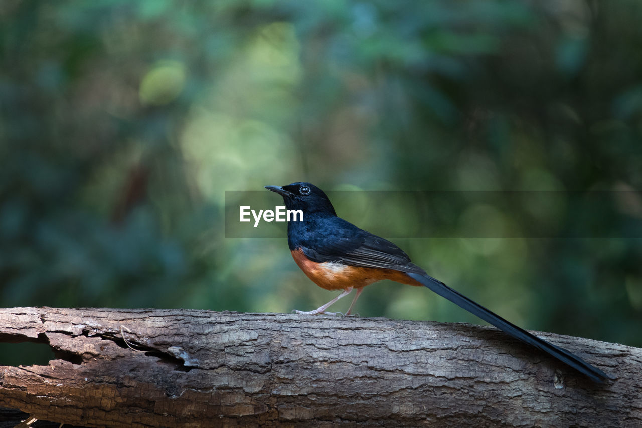 Side View Of White-Rumped Shama Perching On Branch At Forest