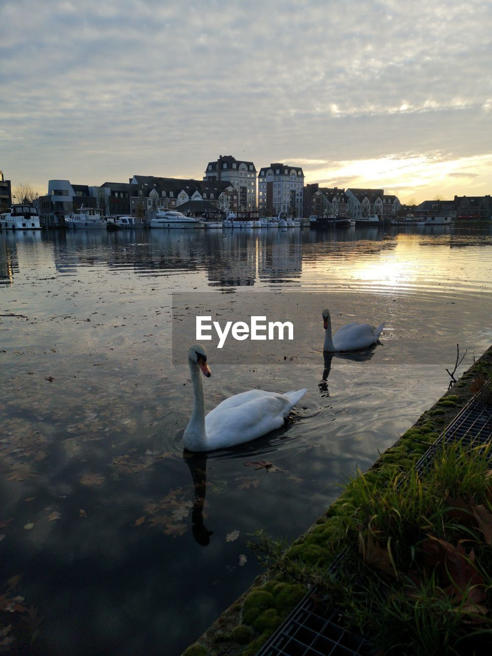 VIEW OF SWANS IN CALM LAKE