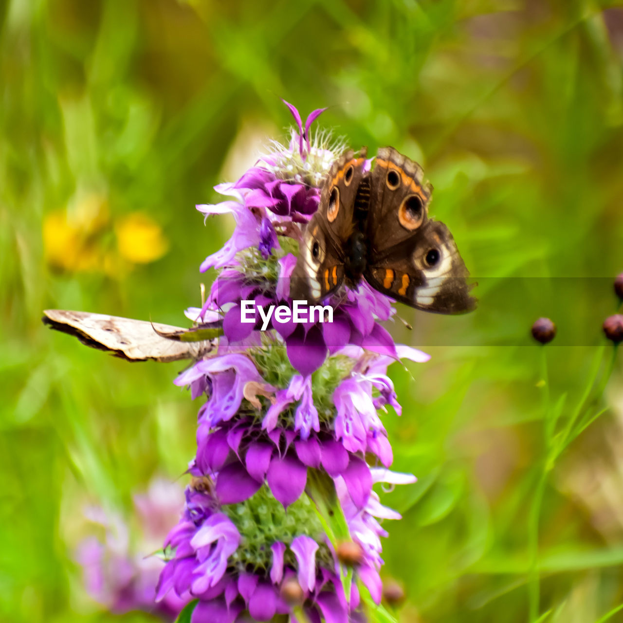 flowering plant, flower, animal themes, animal, one animal, animal wildlife, animals in the wild, plant, invertebrate, insect, beauty in nature, freshness, petal, fragility, close-up, vulnerability, nature, growth, flower head, pollination, purple, no people, animal wing, butterfly - insect