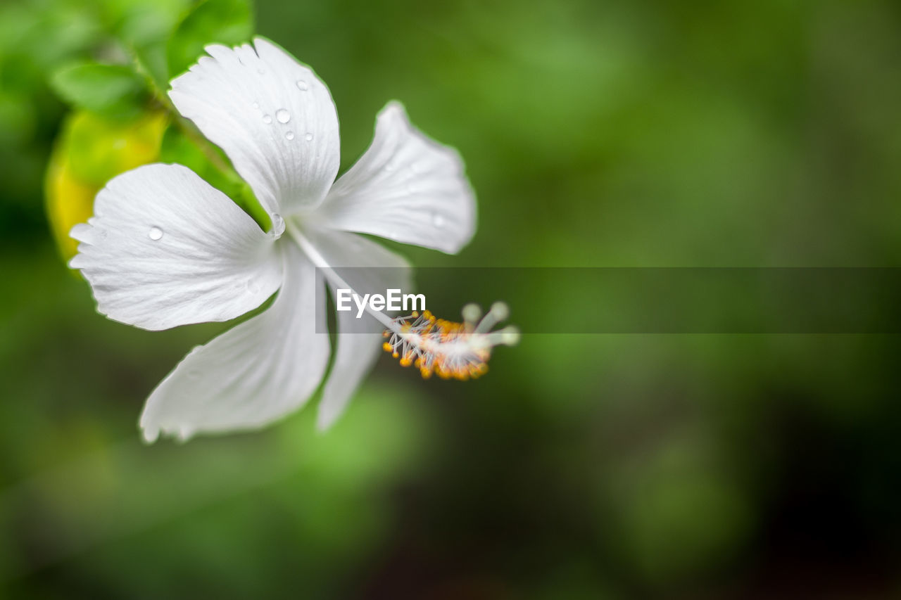 flowering plant, flower, vulnerability, fragility, beauty in nature, freshness, petal, plant, growth, flower head, inflorescence, close-up, white color, no people, selective focus, nature, focus on foreground, day, botany, outdoors, pollen