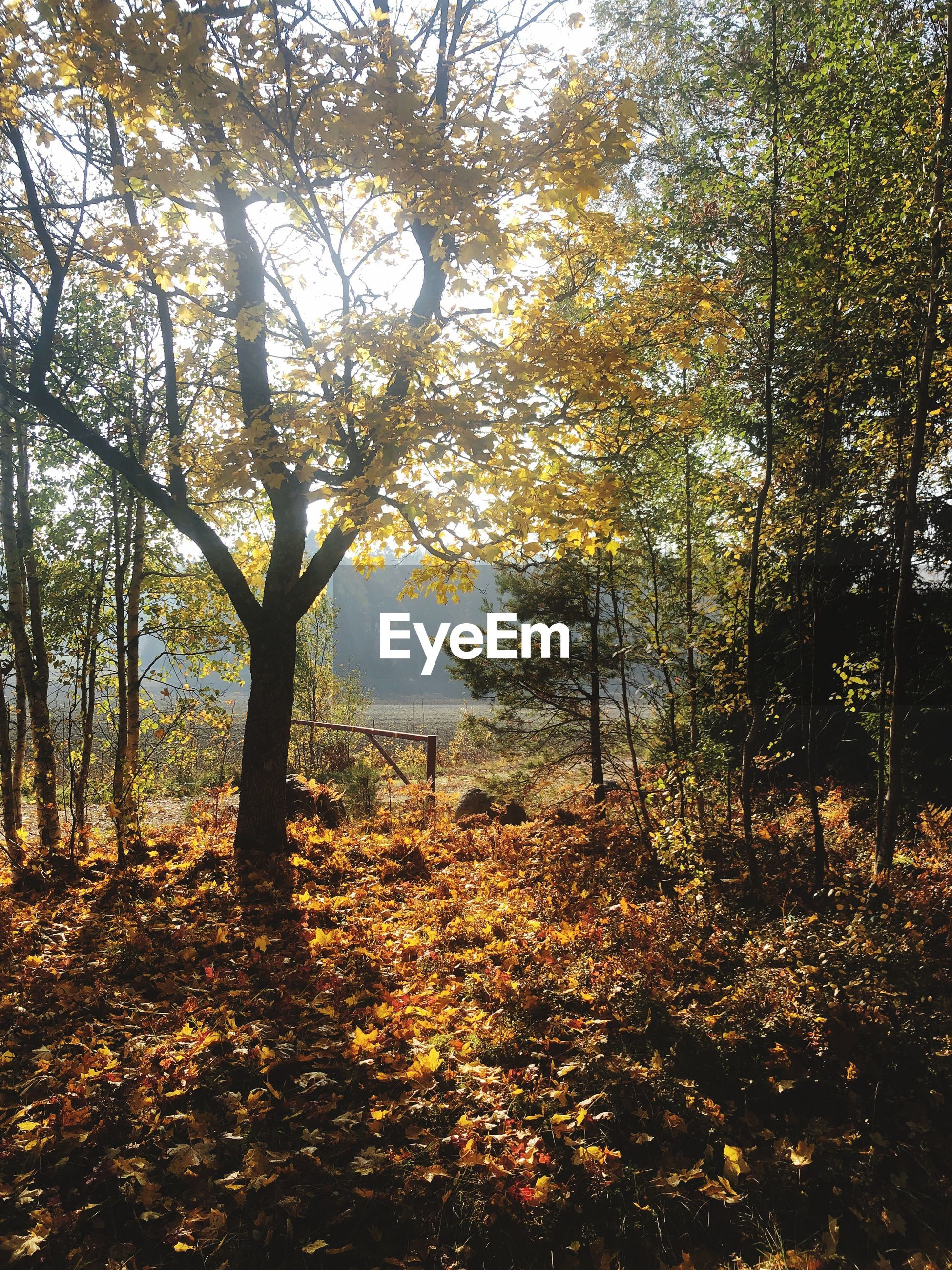 tree, forest, plant, land, autumn, nature, beauty in nature, tranquility, change, day, tranquil scene, sunlight, no people, growth, leaf, plant part, outdoors, non-urban scene, scenics - nature, orange color, woodland, leaves, fall, autumn collection