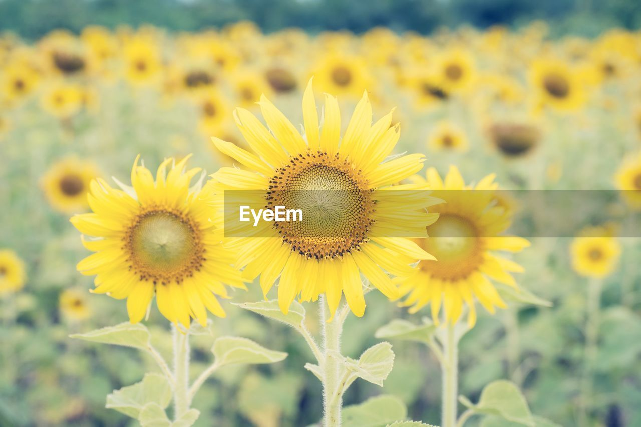 flower, yellow, fragility, nature, beauty in nature, plant, petal, growth, flower head, freshness, close-up, sunflower, focus on foreground, no people, outdoors, day, blooming, springtime