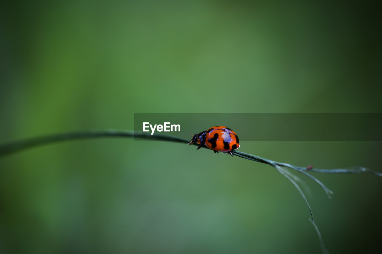 invertebrate, insect, animal themes, animal wildlife, animal, ladybug, beetle, one animal, animals in the wild, close-up, no people, focus on foreground, plant, selective focus, nature, day, red, green color, beauty in nature, outdoors, small, blade of grass